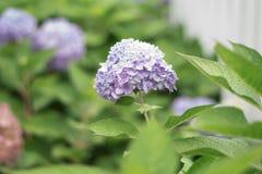 Een hydrangea hortensiabloem is een gedicht stock fotografie