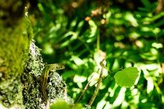 Een Iberische smaragdgroene hagedis Stock Foto's