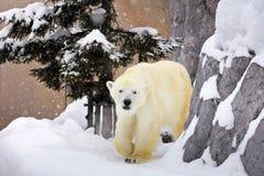 Een ijsbeer die rond rots op sneeuw lopen stock foto