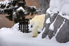 Een ijsbeer die rond rots op sneeuw lopen stock foto's
