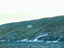 Een ijsbeer loopt langs een helling stock foto's
