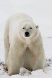 Een ijsbeer op de toendra sneeuw canada royalty-vrije stock foto