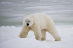 Een ijsbeer op de toendra sneeuw canada royalty-vrije stock fotografie