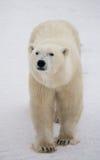 Een ijsbeer op de toendra sneeuw canada stock afbeelding