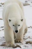 Een ijsbeer op de toendra sneeuw canada stock foto's