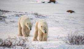 Een ijsbeer op de toendra sneeuw canada stock foto