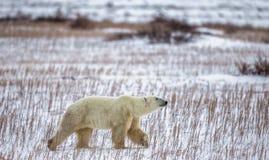 Een ijsbeer op de toendra sneeuw canada royalty-vrije stock afbeeldingen