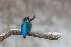 Een ijsvogelzitting op een boomtak met vissen in zijn bek na een succesvolle visserij stock afbeeldingen