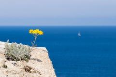 Een Immortelle-bloem die het overzees in Corsica overzien stock foto's