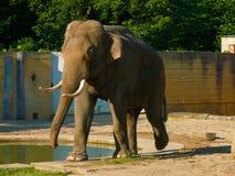 Een Indische maximus van olifantselephas, bedreigde species Stock Afbeeldingen