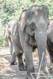 Een Indische olifant stock fotografie