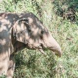 Een Indische olifant stock afbeelding