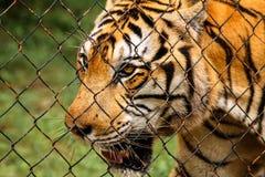 Een Indonesische tijger in gevangenschap in Kambodja royalty-vrije stock afbeelding