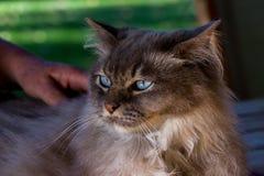 Een inhouds tiffany kat met hand van het is eigenaar royalty-vrije stock foto's
