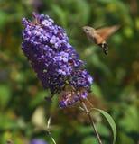 Een insect die aan bloem vliegen Stock Afbeeldingen