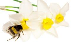 Een insect is een hommel Stock Foto's