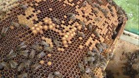 Een inzameling van honingbijen die hun bijenkorven bouwen stock video