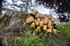 Een inzameling van paddestoelen bij de basis van een boomstam van de besnoeiingsboom royalty-vrije stock fotografie