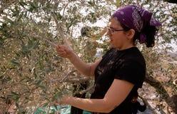 Een ISM vrijwilliger in een olijfbosje in Palestina. Stock Foto's