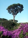 Een Italiaanse boom van de steenpijnboom en roze kruipende rozen tegen de blauwe hemel Stock Afbeeldingen