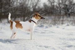 Een jachthond, een fox-terrier, bevindt zich in de sneeuw wild land Stock Fotografie