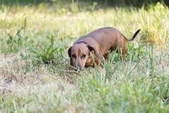 Een jachthond loopt langs de grastekkel, Basset royalty-vrije stock afbeeldingen