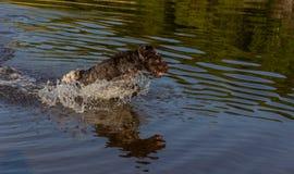 Een jachthond loopt langs het water stock fotografie