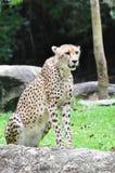 Een jachtluipaard Stock Afbeelding