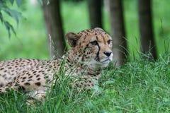 Een jachtluipaard die in het gras liggen stock foto's