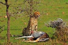 Een Jachtluipaard die zijn prijs eisen Stock Fotografie