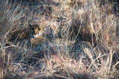 Een jachtluipaard ligt en verbergt in het droge gras van de de wintersavanne stock afbeelding