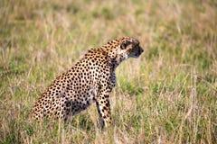 Een jachtluipaard zit in het graslandschap van de savanne van Kenia stock afbeelding