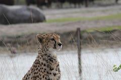 Een jachtluipaardzitting op het gebied royalty-vrije stock fotografie