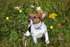Een Jack Russell-puppy in de tuin Stock Afbeelding