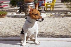 Een Jack Russell-puppy zit Royalty-vrije Stock Foto