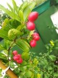 Een jamsonboom Royalty-vrije Stock Afbeelding