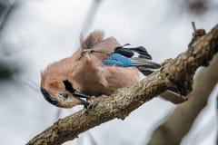 Een Jay Bird Eating On The-Boom royalty-vrije stock afbeelding