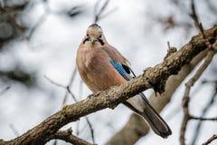 Een Jay Bird Eating On The-Boom royalty-vrije stock afbeeldingen