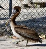 Een jeugd bruine pelikaan royalty-vrije stock afbeelding