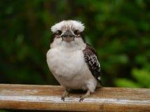 Een jeugd het Lachen Kookaburra Stock Foto