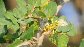Een johannesbroodboom in bloesem stock video
