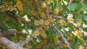 Een johannesbroodboom in bloesem stock videobeelden