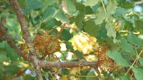 Een johannesbroodboom in bloesem stock footage