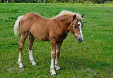 Een jong bruin paard dat zich in het gras bevindt Stock Foto's