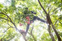 Een jong geitje plukt litchi van een boom bij thakurgoan ranisonkoil, Bangladesh Stock Afbeeldingen