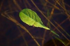 Een jong groen blad die op het water drijven Stock Fotografie