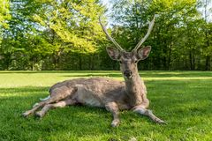 Een jong hert die op de grasgrond leggen royalty-vrije stock afbeelding