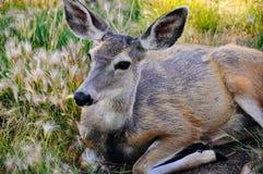 Een jong hert die op een gebied dichtbij Whitehorse, Yukon leggen royalty-vrije stock fotografie