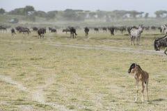 Een jong kalf Wildebeest met de kudden van de Migratie in Ndutu AR Royalty-vrije Stock Foto's