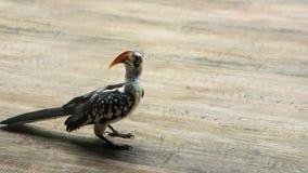 Een jong mannetje van rood-Gefactureerde Hornbill-Vogel royalty-vrije stock fotografie